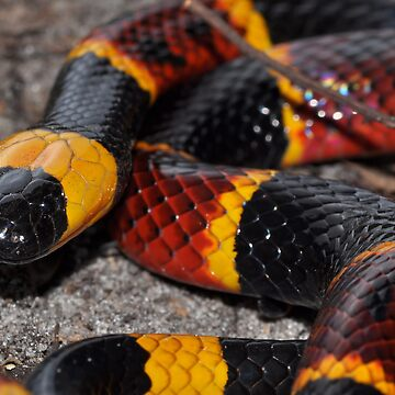 Eastern Coral Snake by mldfl