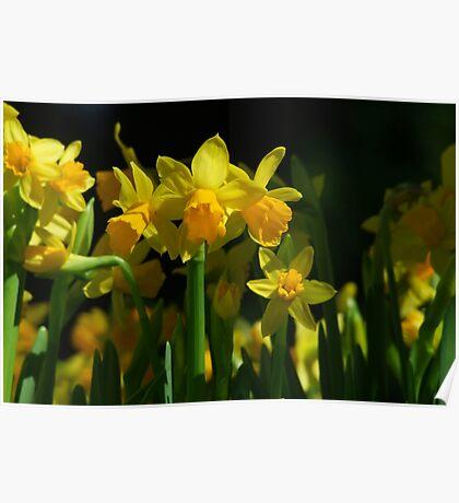 Tete a Tete Daffodils Poster