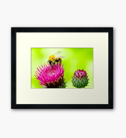 Bumble Bee on Thistle Framed Art Print