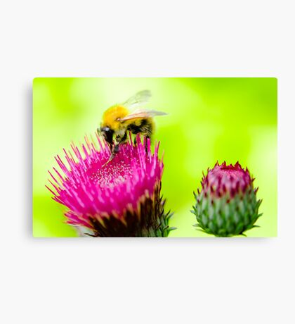 Bumble Bee on Thistle Canvas Print