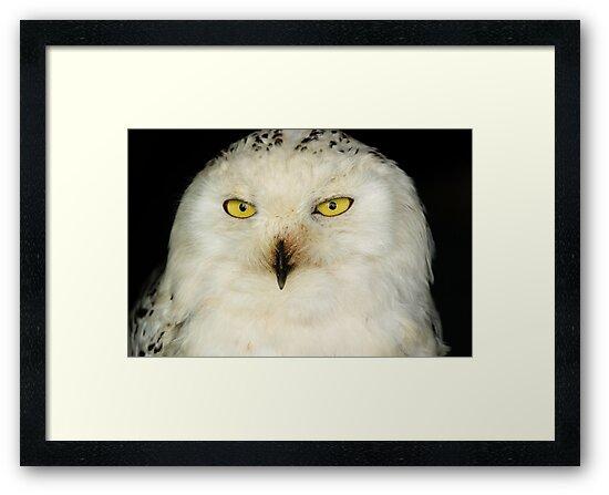 Snowy Owl (Bubo Scandiacus) by mlphoto