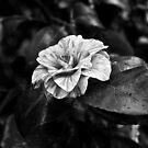 CAMELLIA JAPONICA by Redtempa