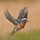Chaffinch by Alan Forder