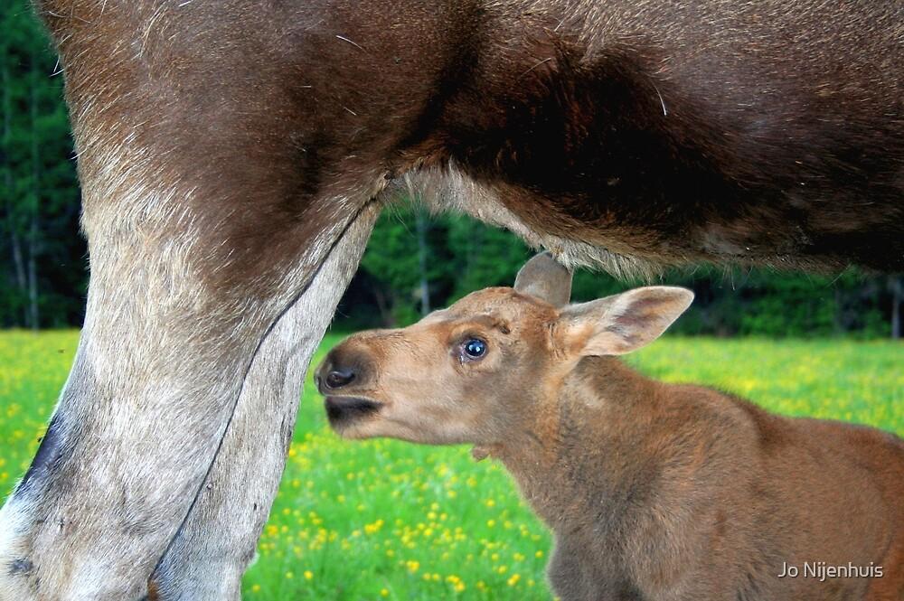 Baby Moose - Searching for Milk by Jo Nijenhuis