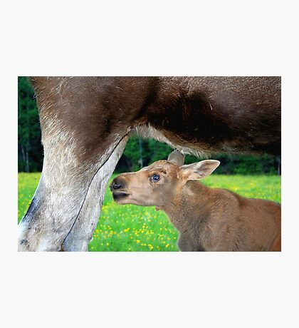 Baby Moose - Searching for Milk Photographic Print