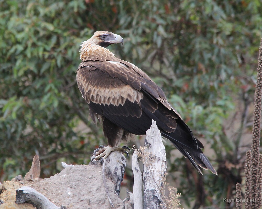 Do You Mind I am Busy  Wedge Tailed Eagle Canberra Australia  by Kym Bradley