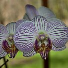 Orchid by Penny Fawver