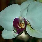 White Orchid by Penny Rinker