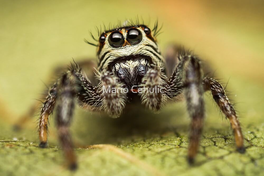 Macaroeris nidicolens jumping spider photo by Mario Cehulic