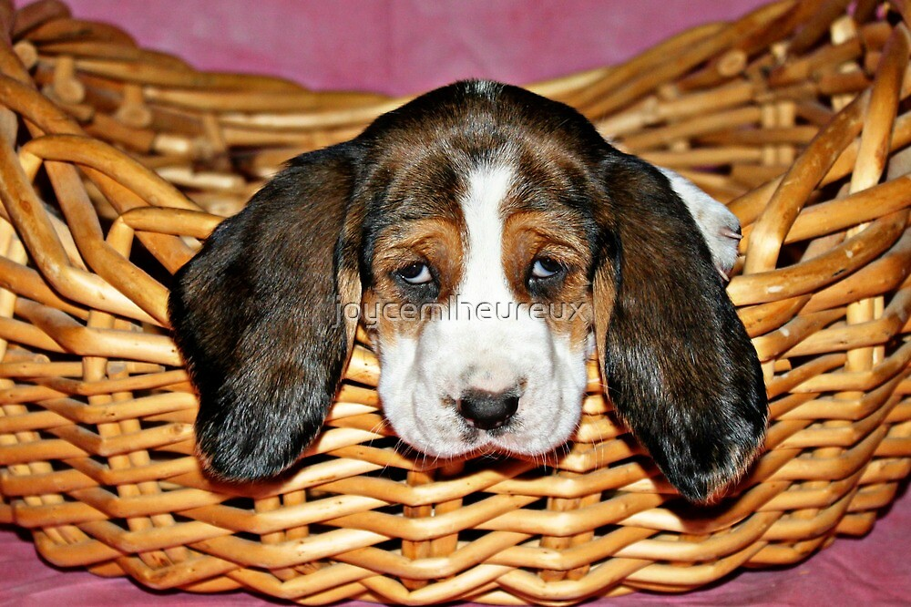 Bassethound Puppy in a Basket by joycemlheureux