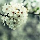 blossom by passerby2