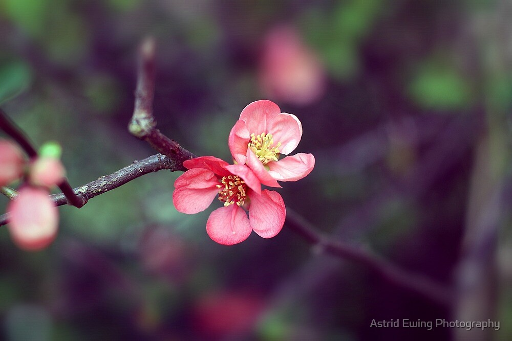 Joyous Japonica by Astrid Ewing Photography