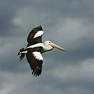 Flying Pelican by TonySlattery