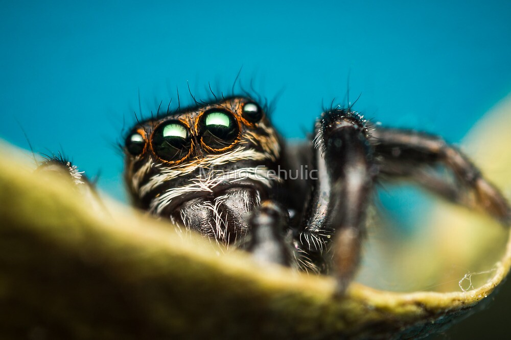 Evarcha arcuata male jumping spider photo by Mario Cehulic