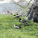 Sitting Ducks by remiliej