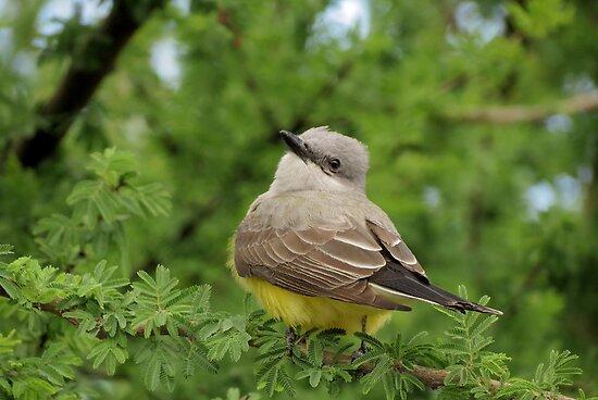 Western Kingbird  by Kimberly Chadwick