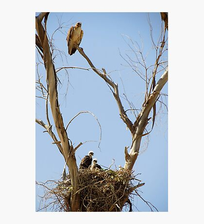 Red-tailed Hawks ~ Watchful eye Photographic Print