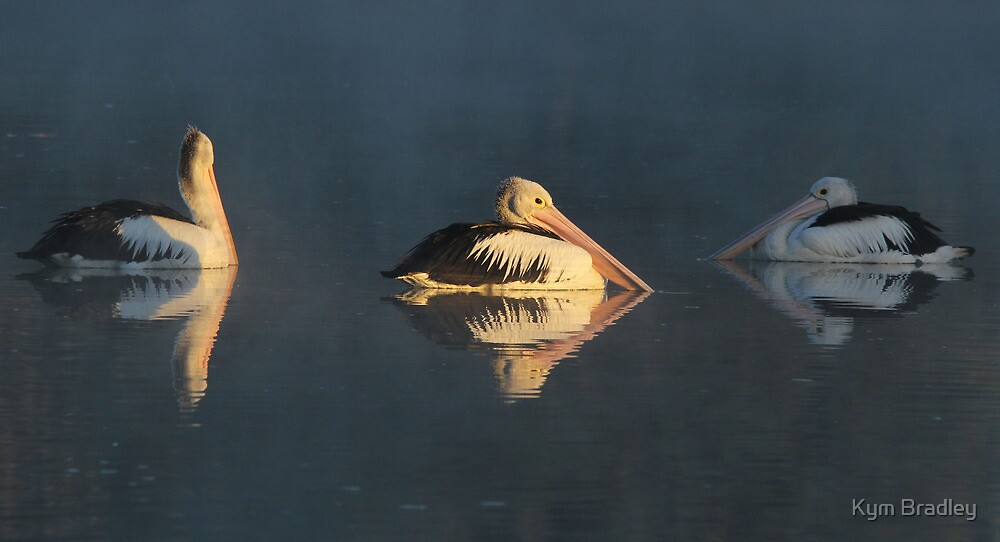 Who Knows the way to Go  Pelicans Canberra Australia  by Kym Bradley