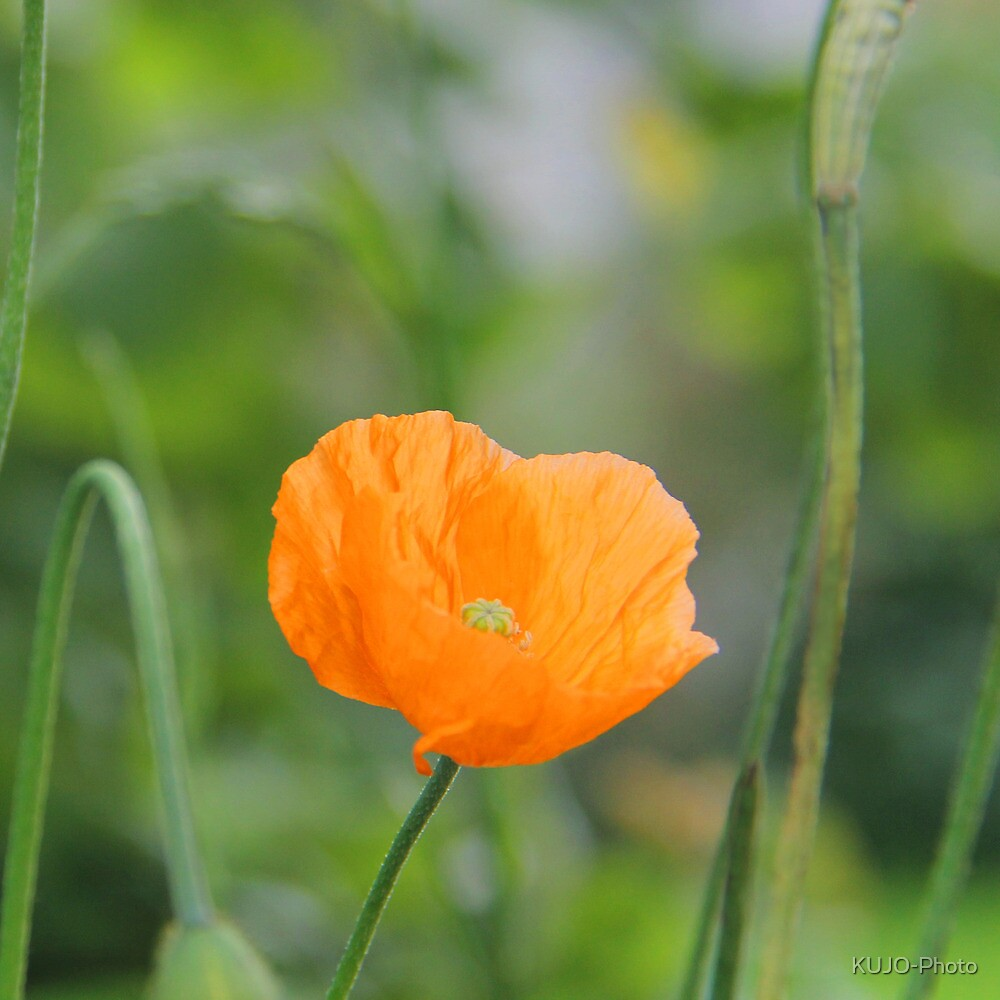 Orange Poppy #2 by KUJO-Photo