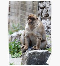 Barbary Macaques In Gibraltar Poster