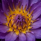 Portrait of a Water Lily by Melissa Gurdus