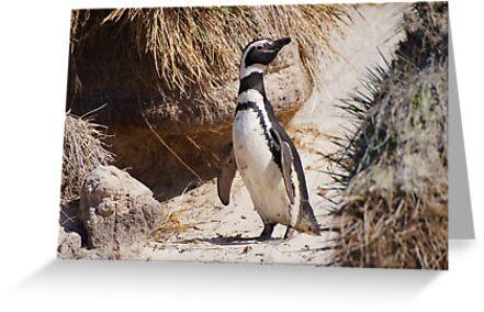 Magellanic Penguin, Falkland Islands by Geoffrey Higges