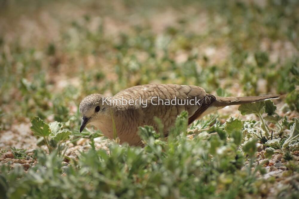 Inca Dove by Kimberly Chadwick