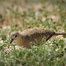 Inca Dove by Kimberly Chadwick