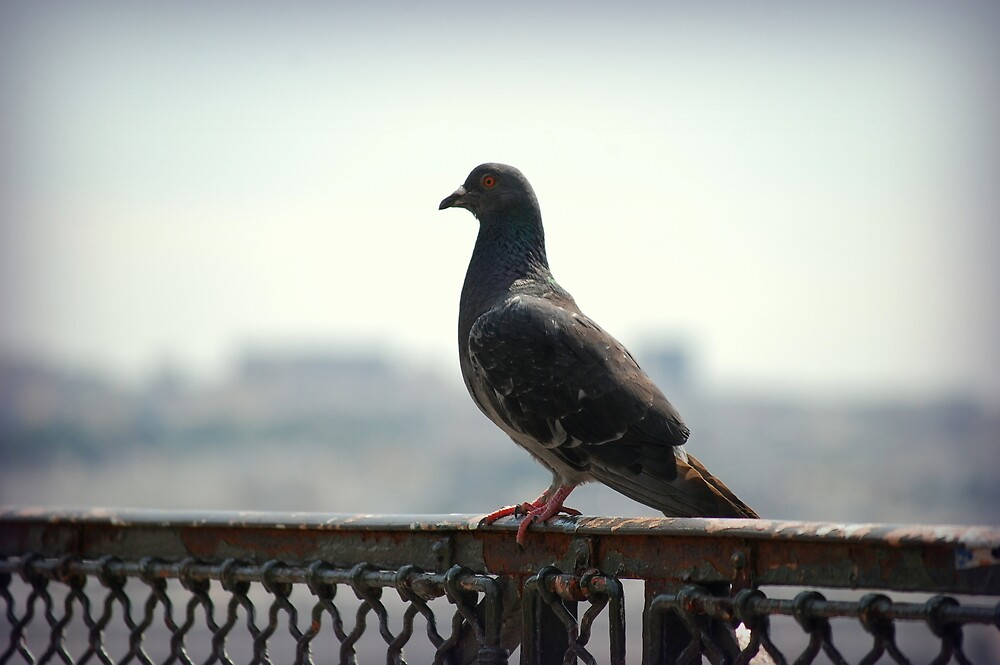 Montmartre Pigeon by lauracronin