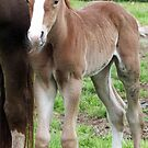 Quarter horse colt by SKNickel