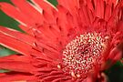 Red Burst by John Velocci