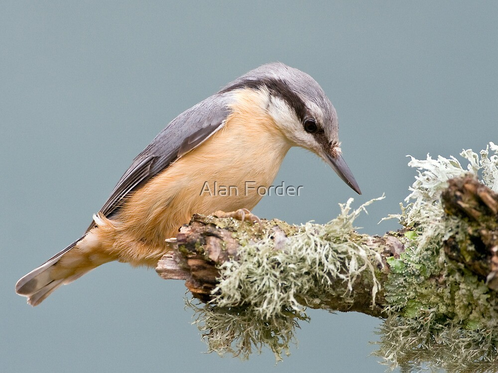 Nuthatch 2 by Alan Forder