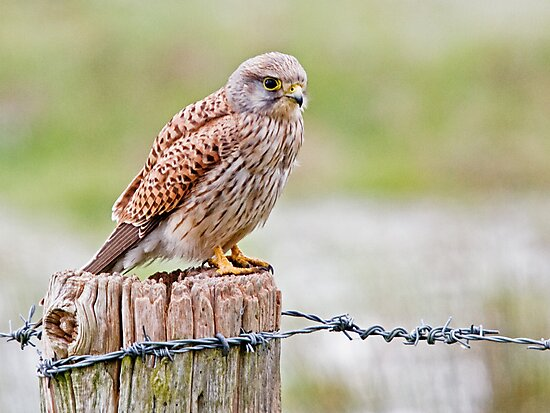Kestrel 2 by Alan Forder