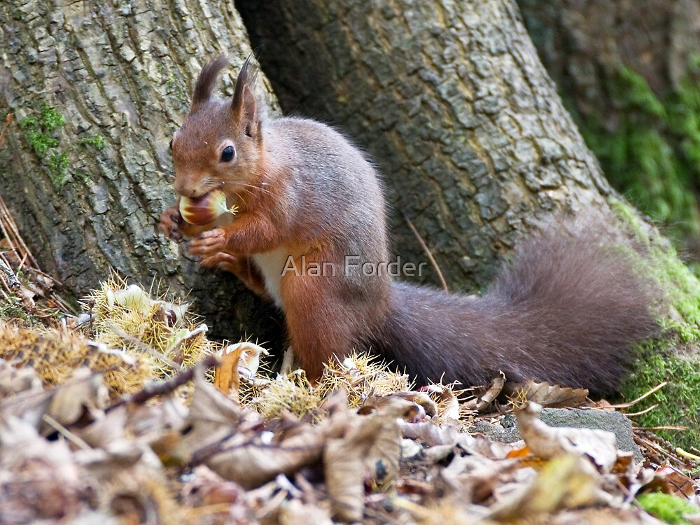 Red squirell by Alan Forder