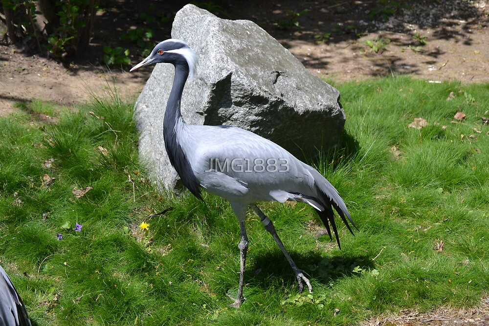 Demoiselle Crane by JMG1883