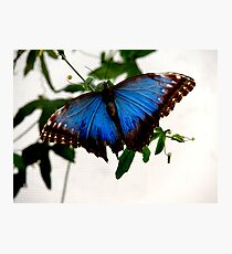 Blue Morpho - Perched Photographic Print