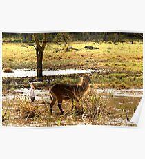 Water Buck Lake Nakuru National Park Africa Poster