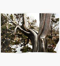 Huon Pine  Tasmania Poster