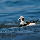 Long-tailed Duck by (Tallow) Dave  Van de Laar