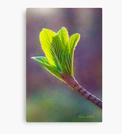 Spring at Last - Baby Siebold Viburnum Leaves Canvas Print
