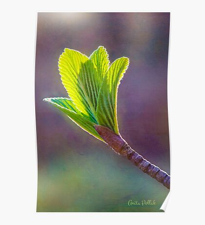 Spring at Last - Baby Siebold Viburnum Leaves Poster