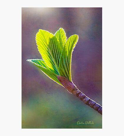 Spring at Last - Baby Siebold Viburnum Leaves Photographic Print