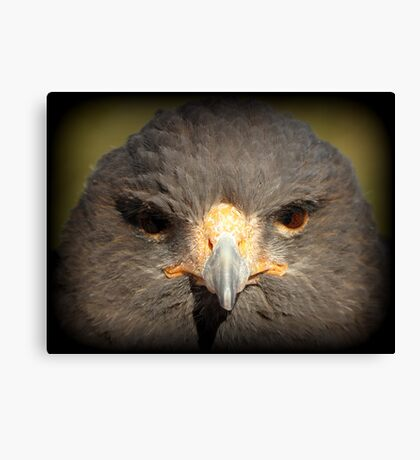 Harris's Hawk~ In Your Face Canvas Print