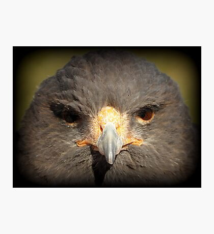 Harris's Hawk~ In Your Face Photographic Print