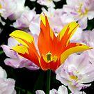 Tulipa - Fire Wings - II by bubblehex08