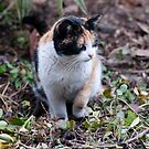 Calico cat by Laura Melis