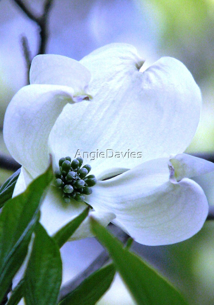 The Aura of Dogwood by AngieDavies
