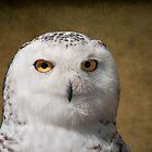snowy owl portrait by KathleenRinker