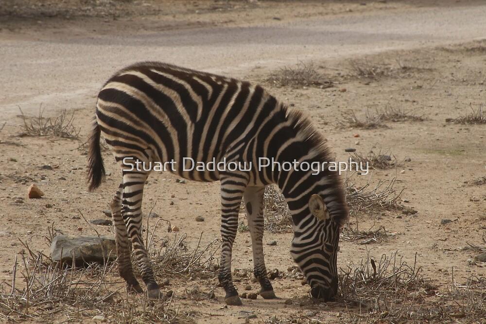 Z is for Zebra by Stuart Daddow Photography