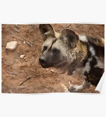 African Painted Dog Waiting For Food Poster